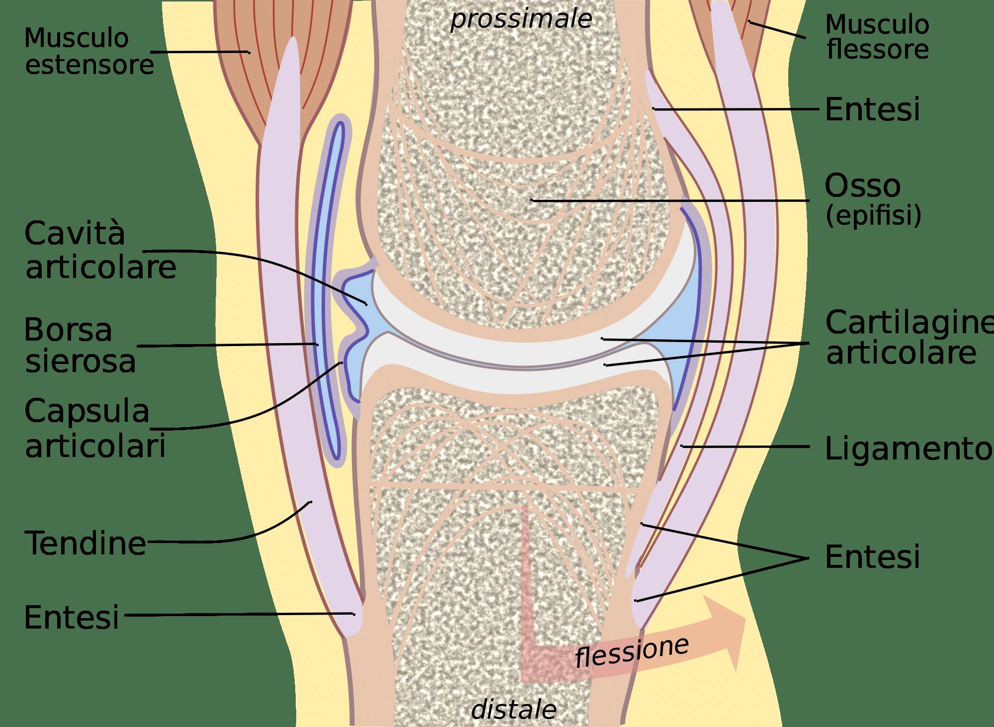 articolazione Reumatologia
